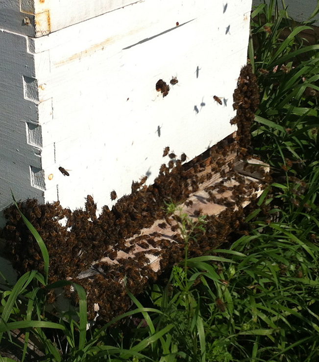 Bees entering the Hive